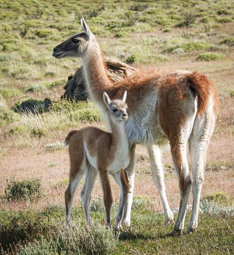 Guanaco mit Fohlen Nationalpark Torres del Paine Patagonie Chile