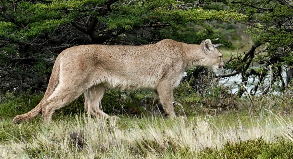 Puma Nationalpark Torres del Paine Patagonie Chile