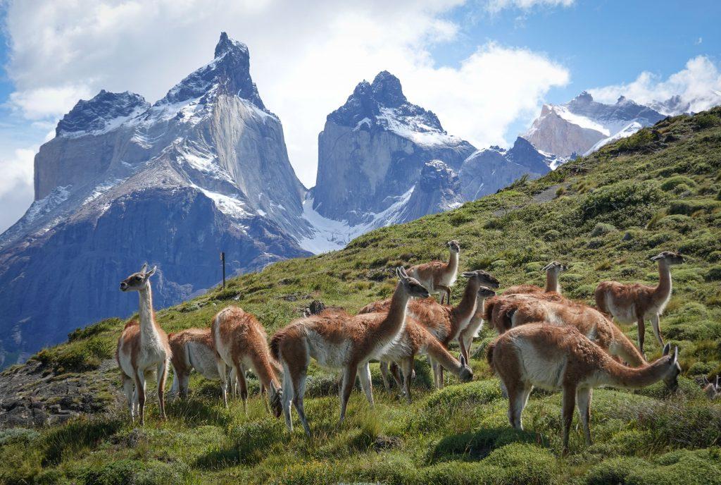 Guanacos Nationalpark Torres del Paine Patagonie Chile